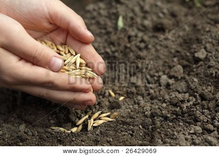 sowing oats