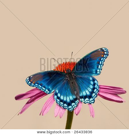 Painterly image of a Red-spotted Purple Admiral butterfly on Purple Coneflower, against light background