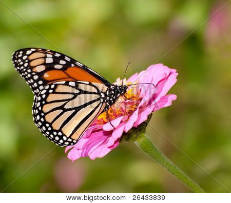 Danaus plexippus, Monarch butterfly in summer garden