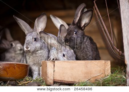 Young rabbits popping out of a hutch (European Rabbit - Oryctolagus cuniculus)