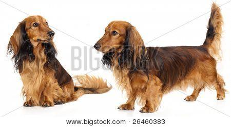 dog dachshund