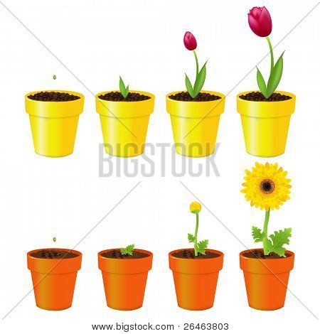 Daisy And Tulip In Pots, Process Of Growth, Isolated On White