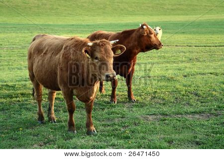 Cows  at  green  pasture land