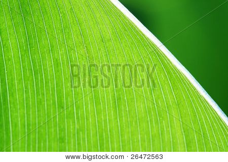 Detail of green leaf