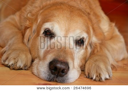 Bored dog - of golden retriever