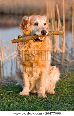 Attractive golden retriever which holds sticks