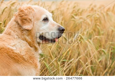 Portrait - Golden retriever in wheat of field