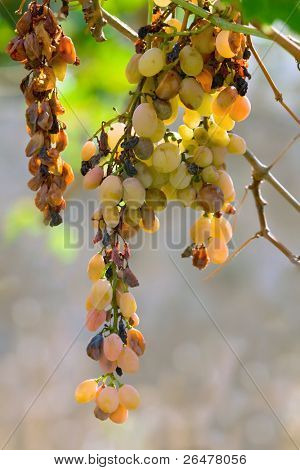 White bunch of grapes as impending raisins
