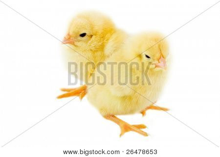 Two small chicken on white background