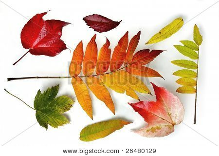 Colorful autumn leaves on white background