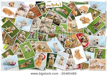 A collage of photos of golden retriever, a collection of photos isolated on a white background, which can be found in high resolution in my portfolio.