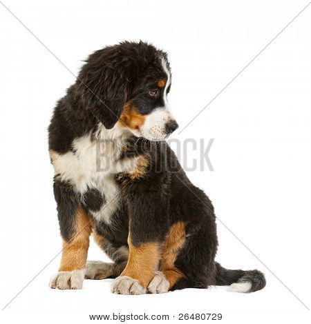 Puppy bernese mountain dog - 4 months (berner sennenhund, bernois)