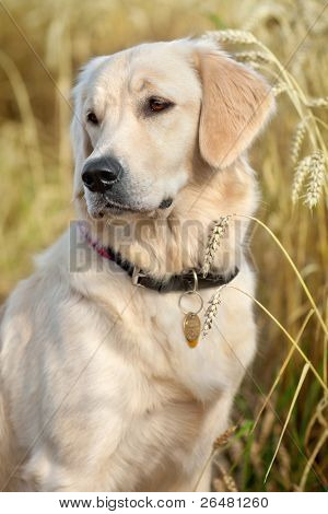Portrait of a nice dog in the grain