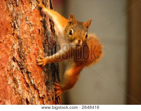 Spider Squirrel