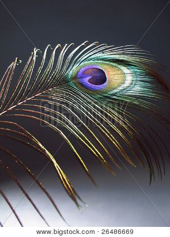 Detail of a peacock feather