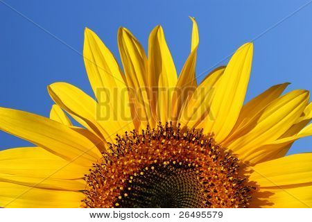 Half segment of a flowering sunflower on a clear blue sky day.