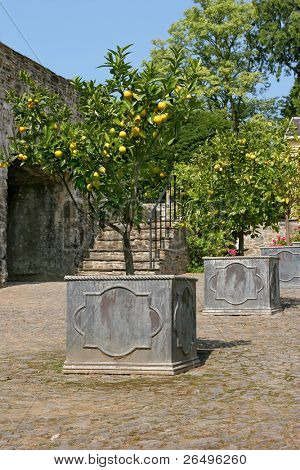 Orange trees bearing fruit in early summer standing in old metal pots on a cobbled path with stone steps and a blue sky to the rear.