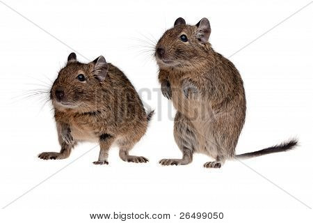 Two Rodent Degu