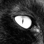 Постер, плакат: Глаза черные кошки