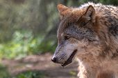 Close-up Profile Portrait Of Old Gray Wolf  With Blurred Green Background. Beautiful Predator Timber poster