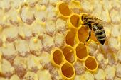 Macro Photo Of Honey Bee On Honeycomb. Bee Turns Nectar Into Fresh And Healthy Honey. Concept Of Bee poster