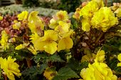 Flowerbed Of Bright Yellow Flowers And Green Leaves. Colorful Garden Bed. Botany Photography. poster