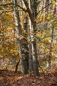 Fall Forest Landscape. Dry Fall Leaves Covering The Ground And Forest Fall Trees Under Soft Sunlight poster