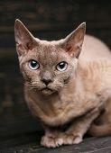 Beautiful Big Pure-bred Devon Rex Cat Portrait poster
