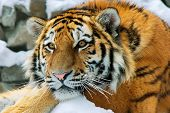 stock photo of novosibirsk  - The Amur tiger in the zoo of Novosibirsk - JPG