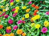 The Zinnia Flower Is One Of The Most Exuberant Flowers poster