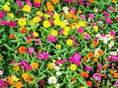 The Zinnia Flower Is One Of The Most Exuberant Flowers You Will Want To Grow In Your Garden. Among O poster