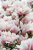 image of japanese magnolia  - Beauty of spring  - JPG