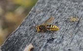 Large Hornet, A Bright Insect With A Sting, Sits On A Gray Wooden Surface,close-up poster