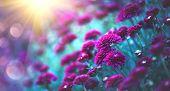 Chrysanthemum violet flowers blooming in a garden. Beauty autumn flowers art design. Bright vivid co poster
