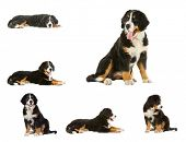 collage puppy bernese mountain dog - 4 months (berner sennenhund, bernois)