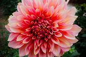 Close-up Of A Pink Ball Dahlia.  Flower In The Light Of The Morning Sun. View To Blooming Dahlia Flo poster