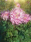 Pink Spider Dahlia Flower poster