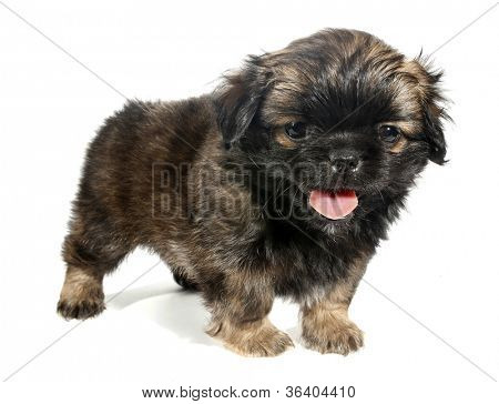 Pekingese puppy dog