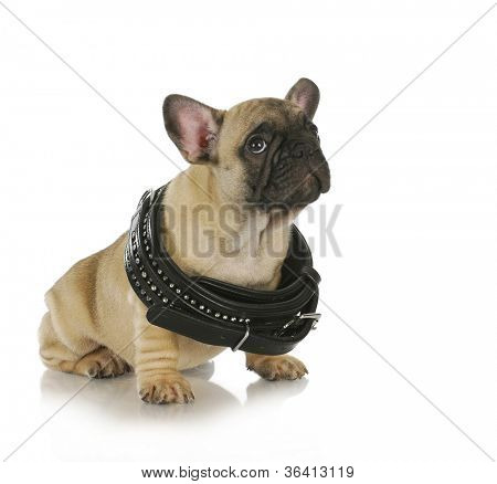 puppy growth - french bulldog puppy wearing collar that is too big - 8 weeks old