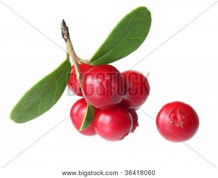 Forest berry cowberry with leaves isolated.