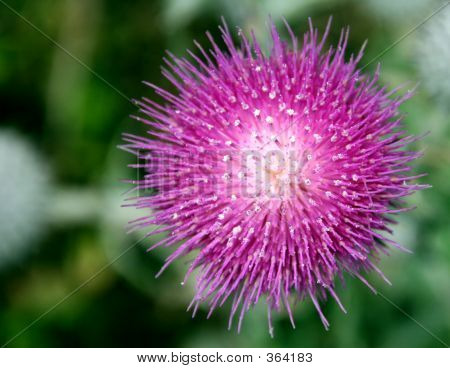 California_thistle