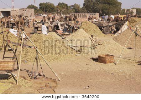 Camel Fodder
