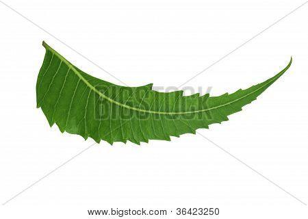 Indian Herbal / Medicinal Leaf - Neem