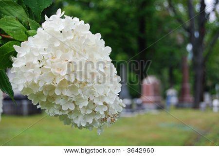 A White Lilac Plant