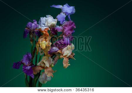 bouquet of iris flowers isolated on dark violett background
