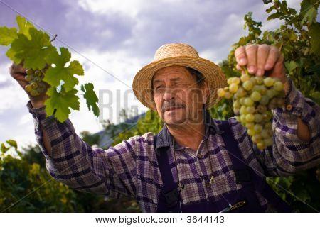 Vintner examinar uvas