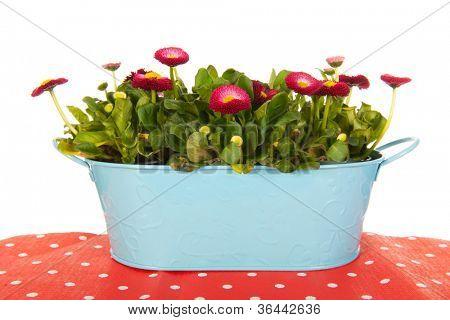 Pink Bellis flowers in blue bucket