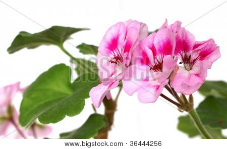 the geranium flowers, isolated on the white