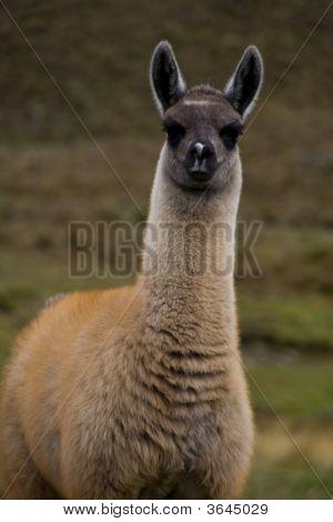 Tall Alpaca Baby