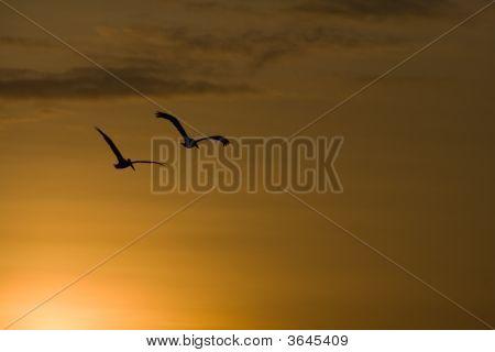 Sunset Pelicans
